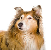 Head rough collie - Scottish shepherd (lassie) — Stock Photo