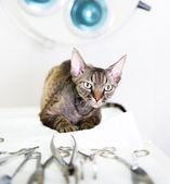 Devon rex kot w kliniki weterynaryjnej w pobliżu narzędzia lekarskie — Zdjęcie stockowe