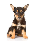 Little puppy sitting in front — Stock Photo