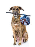 Dog with a stick with bag — Stock Photo