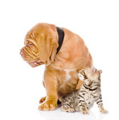 Bordeaux puppy dog and bengal kitten looking away — Stock Photo