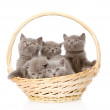 Group british shorthair kittens in basket — Stock Photo #45369461
