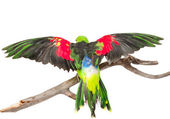 Rear view Red-Winged Parrot (Aprosmictus erythropterus) — Stock Photo
