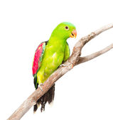 Red-Winged Parrot — Stock Photo