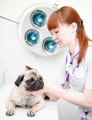 Pug dog having a check-up in his ear — Stock Photo