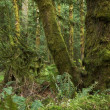 Stock Photo: Northwest Rainforest