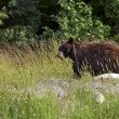 Black Bear in a Wild — Stock Photo