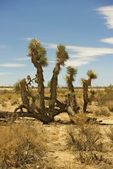 Joshua Tree Mojave Desert — Stock Photo