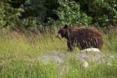 Black Bear in a Wild — Foto Stock