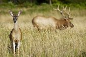 Elks in Wilderness — Stock Photo