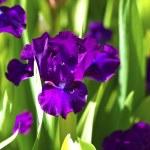 Dark Violet Iris Flowers — Stock Photo #17175897