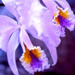 Blossom Orchid — Stock Photo