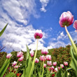 Tulips Wide Angle — Stock Photo