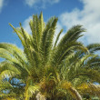 Stock Photo: Canary Island Palm