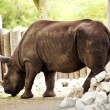 Stock Photo: Rhinoceros - Rhino