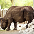 Rhinoceros - Rhino — Stock Photo #17187597