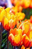 Closeup tulipani sbocciano — Foto Stock