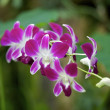 Pink Orchidee — Stock Photo