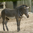 Zebra in ZOO — Stock Photo