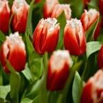 Постер, плакат: Canasta Tulips