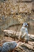 Suricate on the Rock — Stock Photo