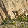 Badlands Sheep — Stock Photo #17429965