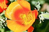 Flor de pétalas vermelho-laranja — Foto Stock