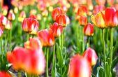 Prado de tulipas — Foto Stock