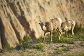Badlands Sheep — Stock Photo