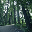 Stock Photo: Redwood Forestry