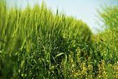 Rye and Grasses — ストック写真