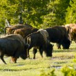 Yellowstone Bisons — Stockfoto