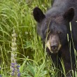 Canadian Black Bear — Stock Photo #17621671