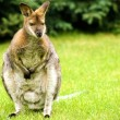Kangaroo — Stock Photo #17621723