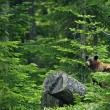Black Bear in Forest — ストック写真