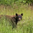 Black Bear in Summer — Stock Photo #17624415