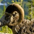 Bighorn Headshot — Stock Photo