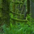 Pacific Northwest Rainforest — Stock Photo #17625103