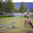 Stock Photo: Yellowstone Wildlife