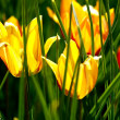 Yellow Tulips — Stock Photo #17628715