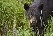 Canadian Black Bear — Stock Photo
