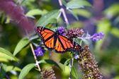 Monarch Butterfly Closeup — Stock Photo