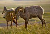 Bighorn Sheeps in Love — Stockfoto