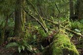 Mossy Rainforest — Stock Photo
