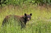 Black Bear in Summer — Stock Photo