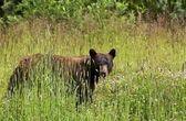Black Bear in Summer — Stock Photo