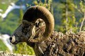 Bighorn Headshot — Stock fotografie