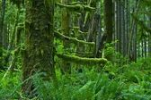 Pacific Northwest Rainforest — Stock Photo