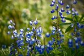 Wildflowers: Blue Lupine — Stock Photo