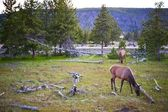 Yellowstone Wildlife — Stock Photo